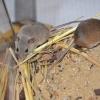 Myš africká – Mus minutoides