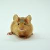 Myš domácí – Mus musculus