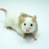 Krysa malá – Mastomys coucha