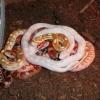 Genetika barev užovky červené